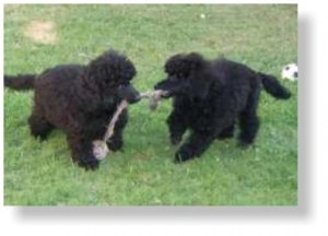 Two black poodles playing tug