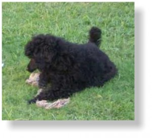 Black puppy poodle playing on the grass