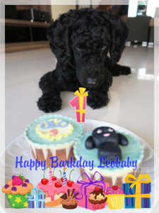 Poodle Leo's birthday