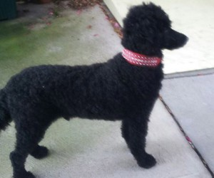 Jet / Gerome poodle on a pink leash