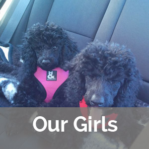 female poodles