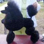 Black poodle on a table