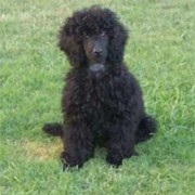 Black poodle on the grass