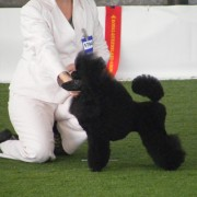 poodle in a dog show