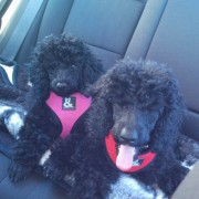 two puppy poodles on a car