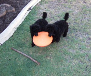 two puppy poodles playing an orange plate