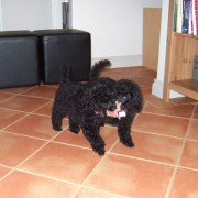 two black puppy poodles