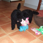 two black puppy poodles playing with their toys