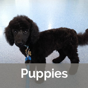 black puppy poodle