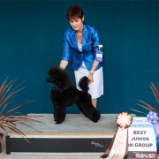 Black Poodle dog posing