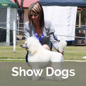 white poodle on a dog show