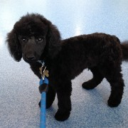 black puppy poodle on a blue leash