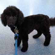 Poodle Puppies For Sale Brisbane - Toy, Teacup & Standard