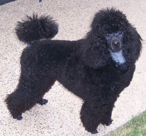 well groomed black poodle