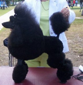 Poodle dog on a show