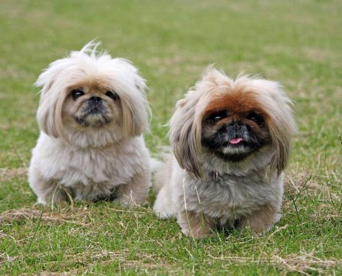 pekingese puppies posing for photo