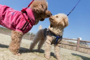 2 poodle dogs in a spacious kennel